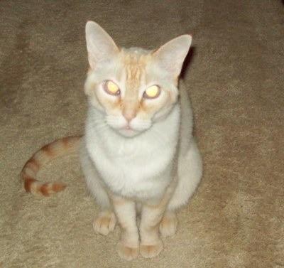 Cat Breeds Siamese Mix