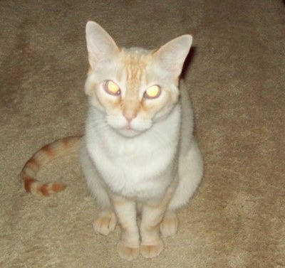 Malley (Siamese Mix)