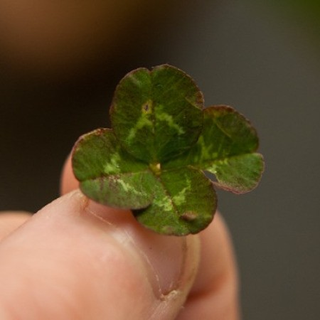 A four leaf clover that was just picked.
