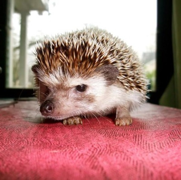 Image result for unhappy hedgehog