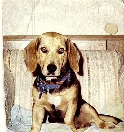 Fritz (Beagle - Basset Hound)