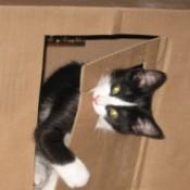 Sadie (Tuxedo Cat)
