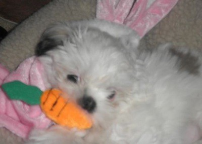 White and grey Shih Tzu with a carrot toy in her mouth.