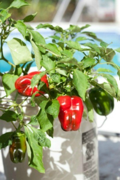 Peppers in Containers