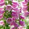 Foxglove Companion Plant