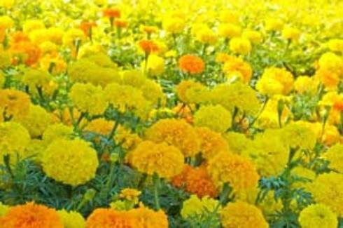 Growing: Marigolds