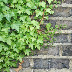 Things To Consider Before Growing Climbing Ivy Thriftyfun