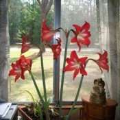 Deep pink-red amaryllis bulbs in a window.