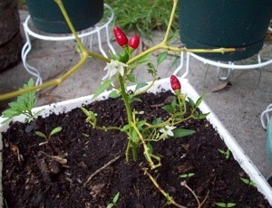 Ornamental pepper growing in a container.