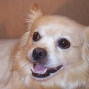 Closeup of tan and cream dog.