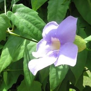 Closeup of pinkish flower on vine.