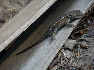 Lizard on wood.
