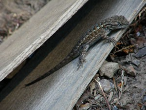 Lizard on wood.
