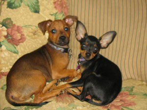 Two Minpin Chihuahua cross dogs.