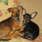 Two Minpin Chihuahua cross dogs.
