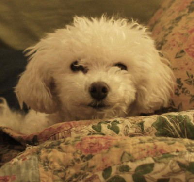 Bichon Frise Breed Information and Photos | ThriftyFun