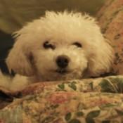 Sophie (Bichon Frise)