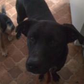 Black medium sized dog