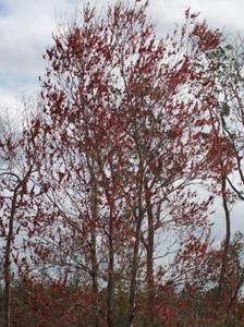Flowering Florida Maple