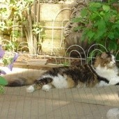 A beautiful calico longhair laying outside on a garden patio.