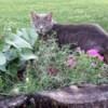Gray tabby cat in garden.