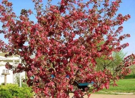 Flowering crab apple tree.