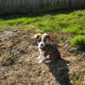 Puppy in yard.