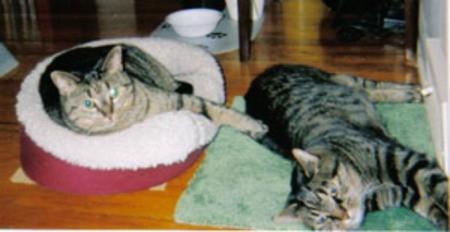 Miranda and Sally (Domestic Shorthair)