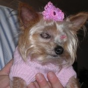 A yorkie wearing a pink sweater and bow.