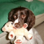 Maddie (English Springer Spaniel)