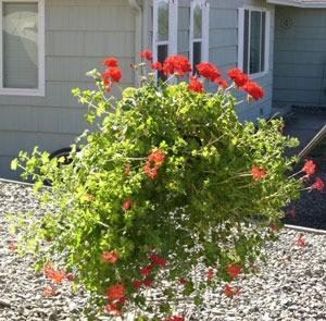 large geranium plant