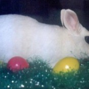 Festus (Dwarf Hotot Rabbit)