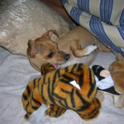 Lacy (Chihuahua)