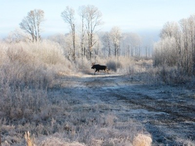 Moose crossing a dirt road.