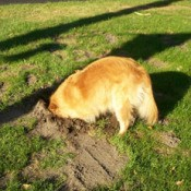 Dog with head in hole she has dug.