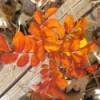orange rose bush leaves