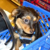 Black and tan puppy in grocery card.
