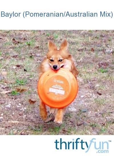 more photos 8c790 a8b64 Baylor (Pomeranian/Australian Mix) | ThriftyFun
