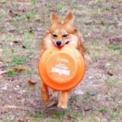 Baylor (Pomeranian/Australian Mix)