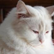White cat.