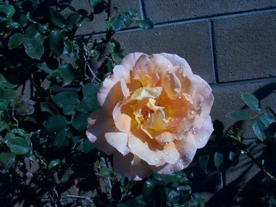 Peach colored rose fully opened.