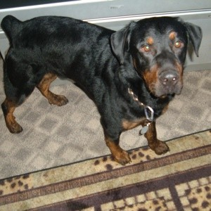 Black and brown dog with docked tail.