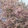 Close-up of Crab Apple Tree