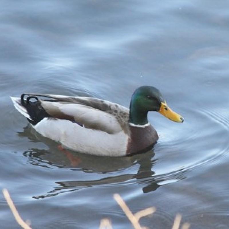 Wildlife: Mallard Duck (River Walk, Augusta, GA)