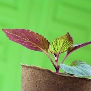 Tiny plant in peat pot
