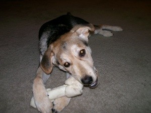 Tan, grey, and white puppy chewing on rawhide bone.