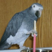 closeup of Grey Parrot holding a stick