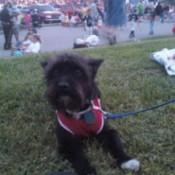 Toto (Cairn Terrier)