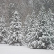 Snow covered trees.