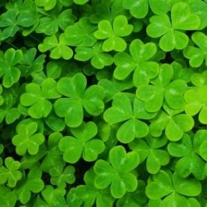 Shamrocks: The St. Patrick's Day Plant